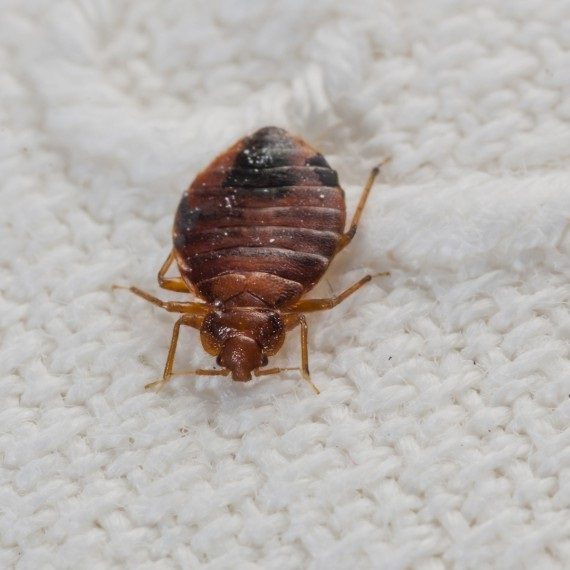 Bed Bugs, Pest Control in Clapham, SW4. Call Now! 020 8166 9746