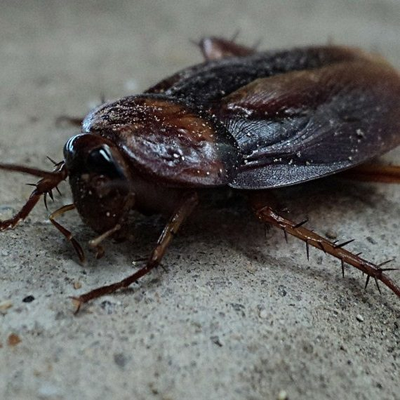 Cockroaches, Pest Control in Clapham, SW4. Call Now! 020 8166 9746