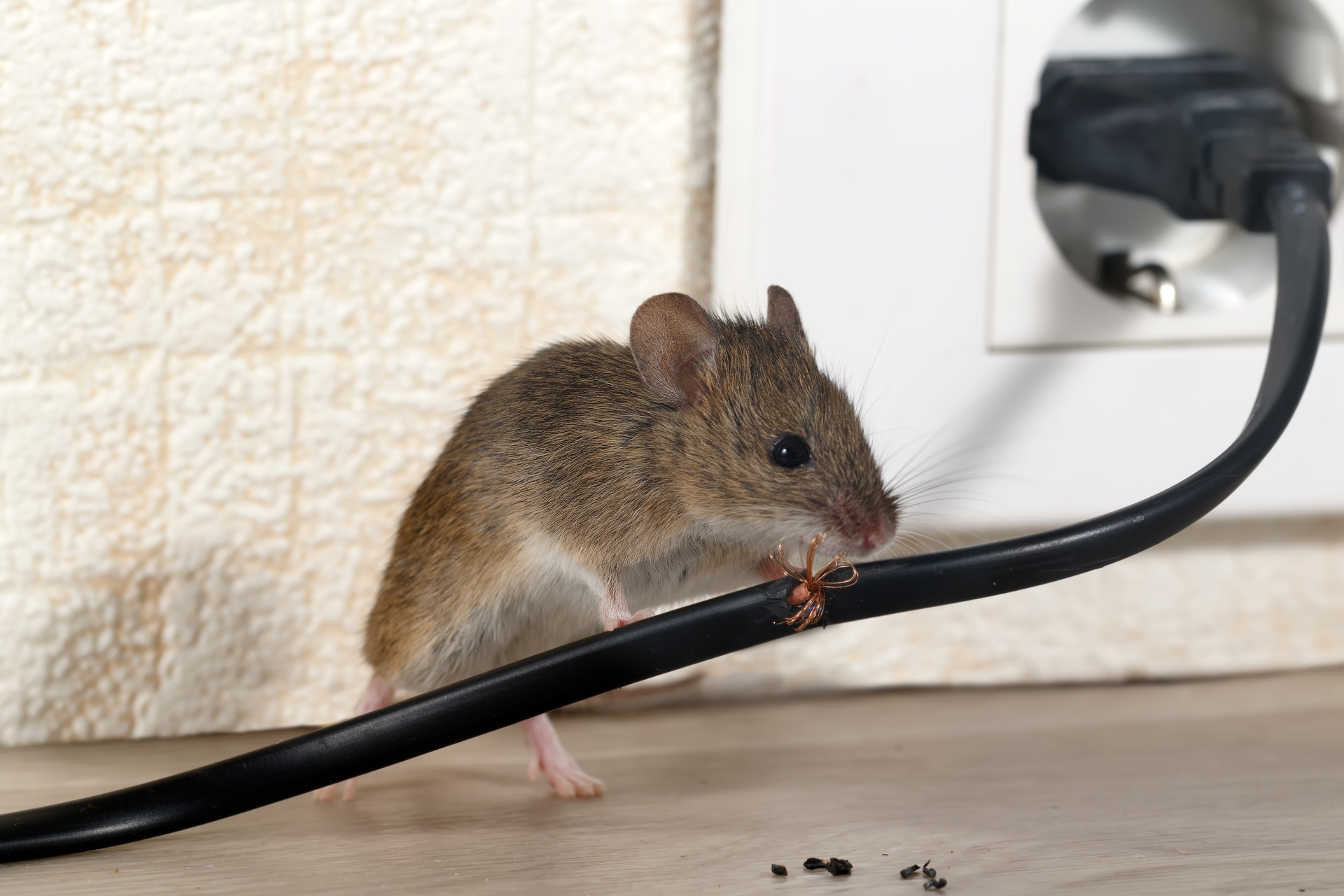 Mice Infestation, Pest Control in Clapham, SW4. Call Now 020 8166 9746