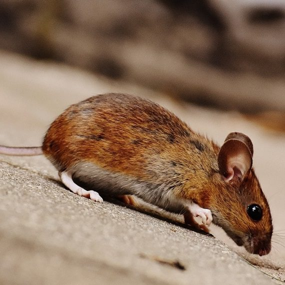 Mice, Pest Control in Clapham, SW4. Call Now! 020 8166 9746