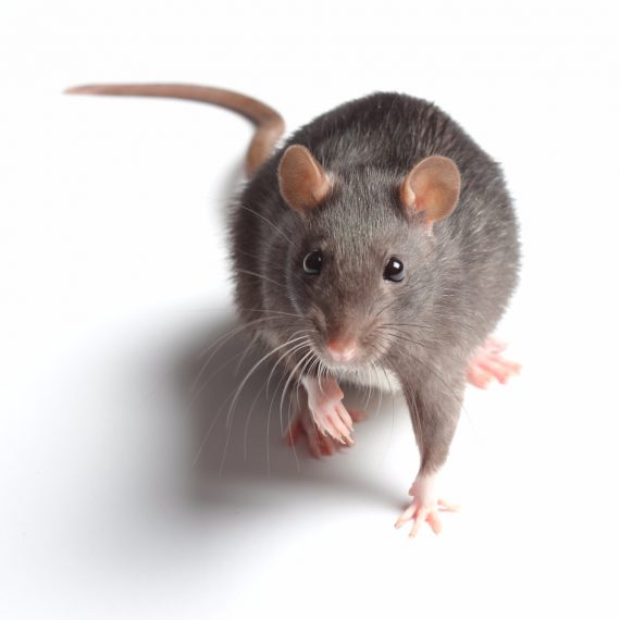 Rats, Pest Control in Clapham, SW4. Call Now! 020 8166 9746