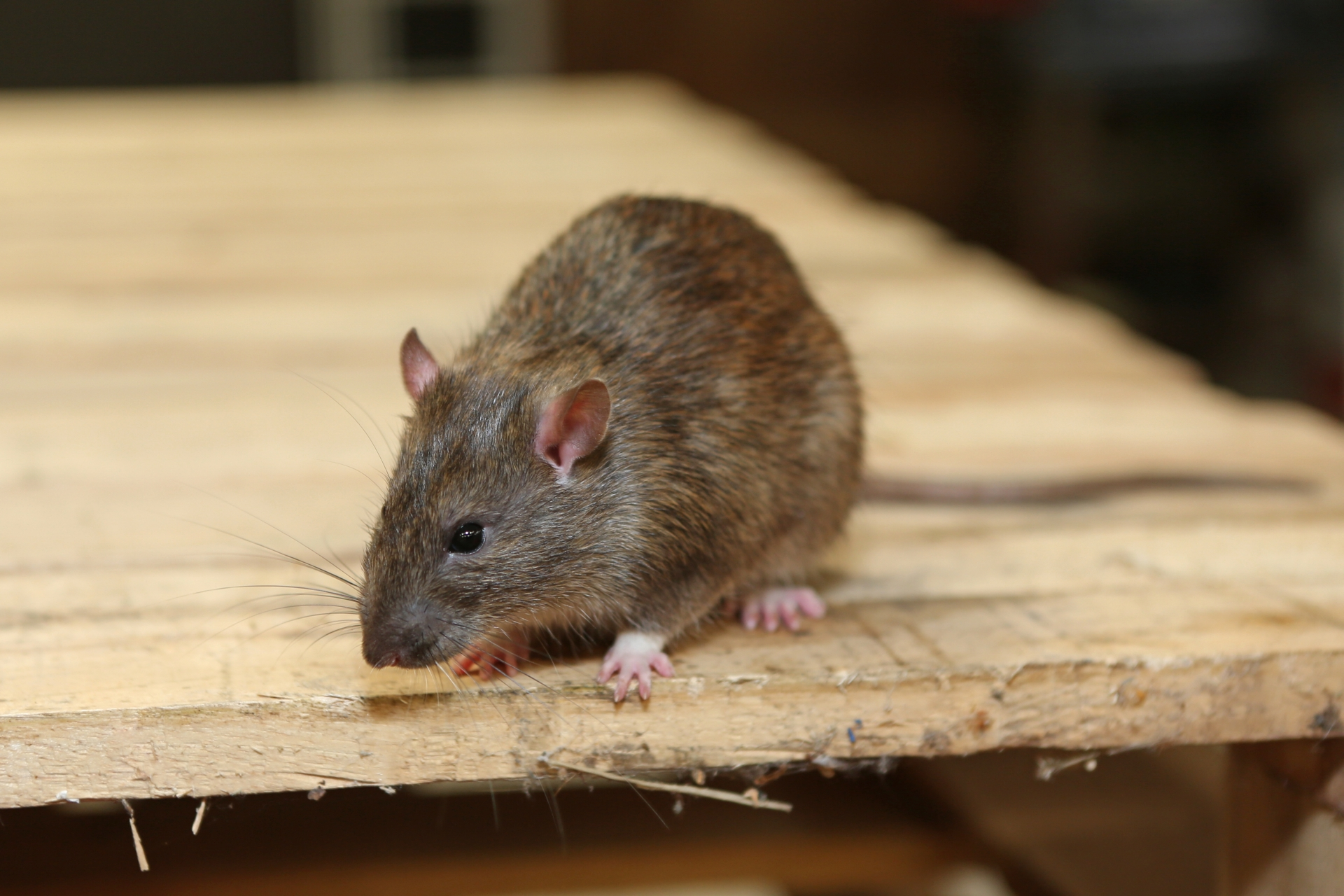 Rat Infestation, Pest Control in Clapham, SW4. Call Now 020 8166 9746